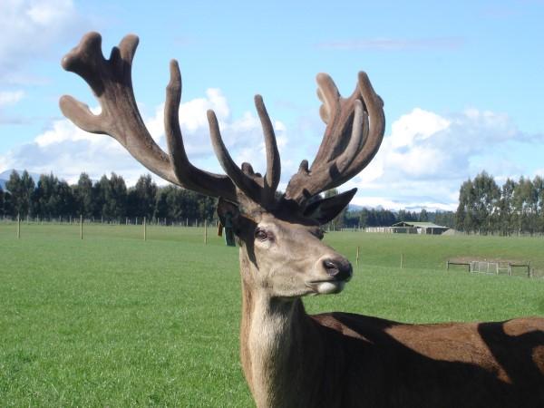 DeerGallery (10)
