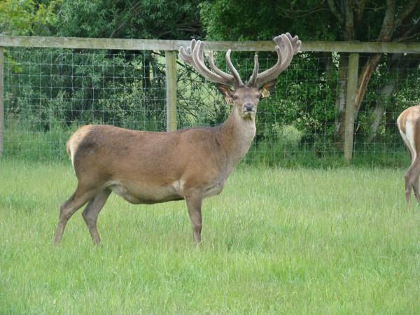DeerGallery (16)